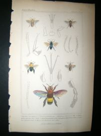 Cuvier C1835 Antique Hand Col Print. Epeolus, Cocisa, Centris, 84 Insects
